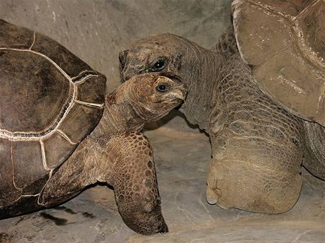 Samička želvy obrovské (vlevo) se seznamuje se želvou sloní v Pavilonu vekých želv.