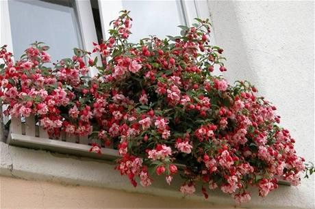 Krásně rozkvetlý okenní truhlík potěší i na paneláku nebo činžovním domě.