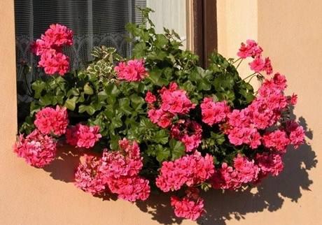 Krásně rozkvetlý okenní truhlík vás může těšit od května až do podzimu. Když víte, jak na to.