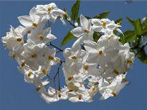 V truhlíku na okně či balkoně vám může kvést i jasmínokvětý lilek (Solanum jasminoides).