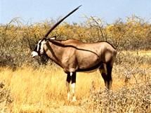 Namibie, Národní park Etosha. Přímorožci se po parku pohybují často samotářsky