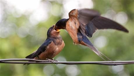 Vlaštovka krmící v letu svoje mládě.