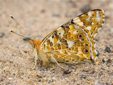 Babočka bodláková (Vanessa cardui), spodní strana křídel.