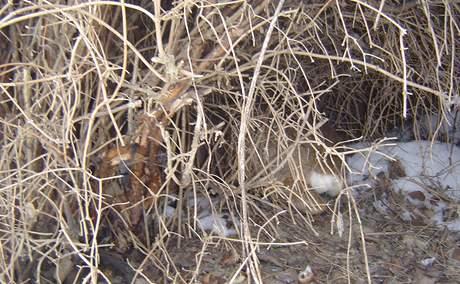 Hasiči z Karlovarského kraje zachránili srnce zaklíněného v plotě