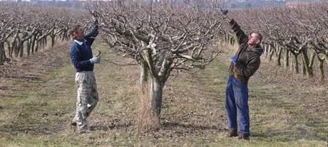 Muži stříhají stromy jabloní v sadu nedaleko Popic