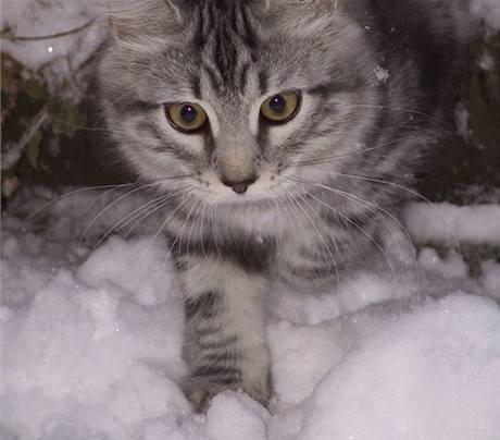 Sibiřská kočka miluje pohyb venku.
