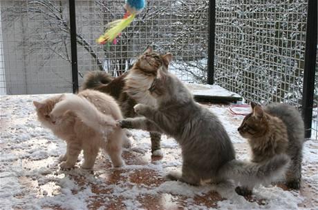 Sibiřské kočky milují pohyb venku. Mělo by ovšem jít o oplocenou zahradu nebo venkovní voliéru.