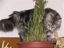 Jako každá kočka, i sibiřka si potřebuje čistit žaludek. Nepohrdne tedy osením, případně šáchorem (na snímku).