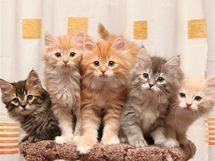 Sibiřské kočky existují ve všech barevných mutacích kromě siamské. Koťata z jednoho vrhu.