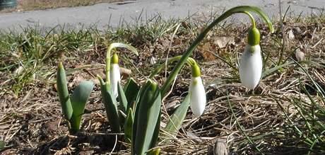 Na stráních pod hradem Špilberk rozkvetly první sněženky
