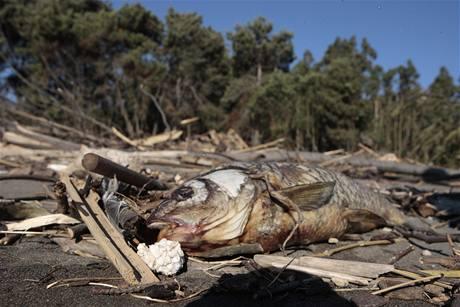 Tlející ryby po ničivém zemětřesení a tsunami v Chile