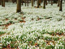 Ve volné přírodě jsou sněženky chráněné. Setkat se s nimi můžete například na Vysočině.