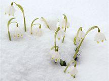Bledule jarní jsou ve volné přírodě také chráněné, ale pěstovat se dají šlechtěné kultivary.