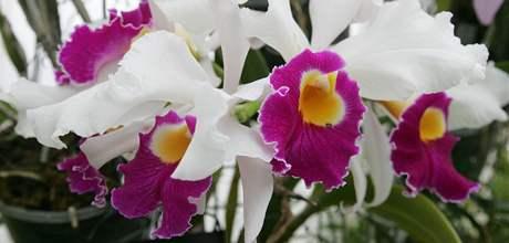 V Botanické zahradě a arboretu Mendelovy univerzity v Brně se koná výstava nazvaná Květy orchidejí