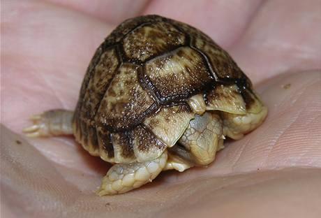 Nově vylíhlé mládě želvy egyptské z pražské zoo měří 2,5 centimetru (14. března 2010)