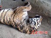 Zvíře, které napadli čtyři hladovějící tygři