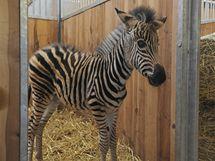 Malá zebra-sirotek