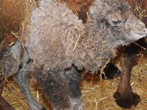 Na velbloudí mládě čekali pracovníci brněnské zoo několik týdnů