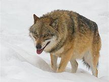 Kopcovitý terén vám umožní vlky pozorovat v různých situacích.