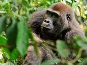 """Celému projektu """"Pomáháme gorilám"""" jde o zachování goril ve volné p�írod�."""