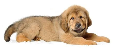 Tibetský mastif - mládě