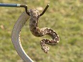 Odchyt zmije obecné může provádět jen odborník s výjimkou na odchyt