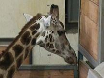 Žirafa Nikola před zákrokem.