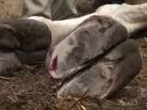 Jedno ošetřené kopyto lehce krvácelo, proto žirafa pro jistotu dostala ještě antibiotika.