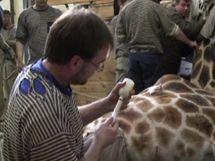 Aby se žirafa probudila, dostává antidota (protilátky).