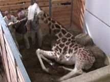 Žirafa se bez problémů probouzí zhruba po 12 minutách po podání antidot a hned napoprvé se staví na nohy. Je vyhráno.