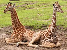 Ležící mláďata žiraf.