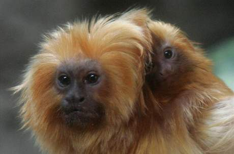 Olomoucká zoo odchovala dvě mláďata vzácných lvíčků zlatých