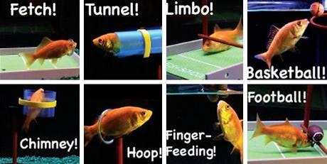 Aport nebo americký fotbal - i tyto triky se rybička naučí
