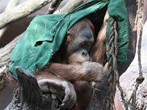 Desetiletý Filip je starší z mláďat orangutanů sumaterských.