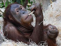 Tento víkend máte poslední možnost vidět devítiletého Pagyho a jeho bratra Filipa v Zoo Praha.