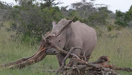 Mladý samec jižní formy Max si hraje s klacky. Žije v prostoru, který sousedí s výběhem dvorských nosorožců
