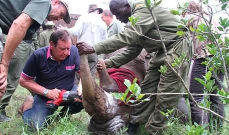 Po přemístění na nové území zkrátili ošetřovatelé rohy také jižním bílým nosorožcům