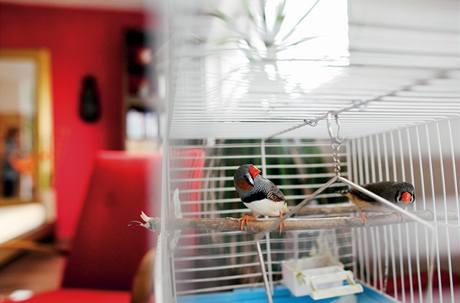 Párek malých zebřiček – jeden z kolaudačních darů – je v bytě útulném jako klícka spokojen
