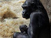 Kijivu s čerstvě narozeným mládětem, 24.4.2010