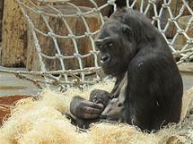 Gorila Kijivu kojí