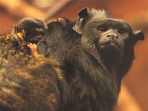 Sameček tamarína žlutorukého Jackie s dvěma z narozených trojčat. Jako všechny americké opice nosí mláďata na hřbetě