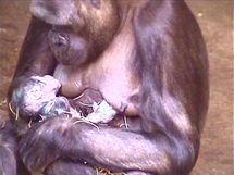 Kijivu s čerstvě narozeným mládětem.