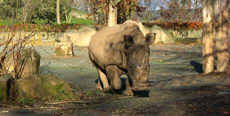 Nosorožec tuponosý
