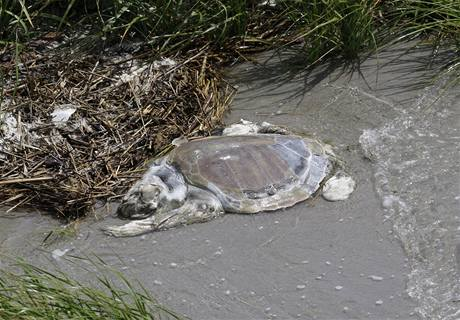 Jednou z obětí ropné katastrofy v Mexickém zálivu je i mořká želva