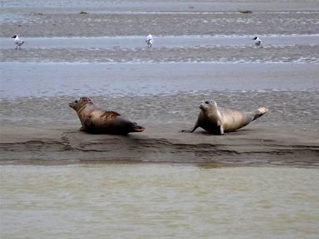 Mláďata tuleně obecného odpočívají v poloze 'banán'