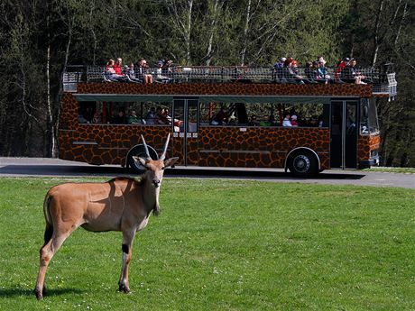 Antilopa losí v safari