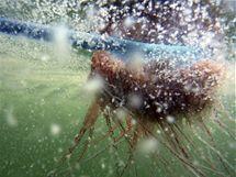 Měchýřovka portugalská v ropné skvrně u pobřeží Louisiany (7. května 2010)