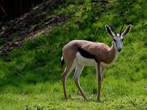 Antilopa skákavá v letním výběhu