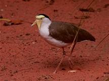 Čejka australská