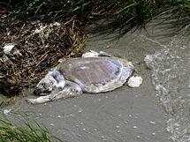 Kvůli unikající ropě z porušeného vrtu v Mexickém zálivu umírají tisíce živočichů.